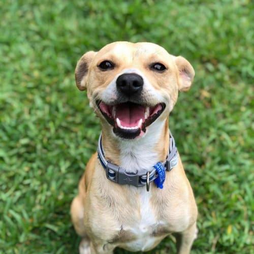 Bruno ~ 2 year old Foxy X Staffy - Fox Terrier x Staffy Dog