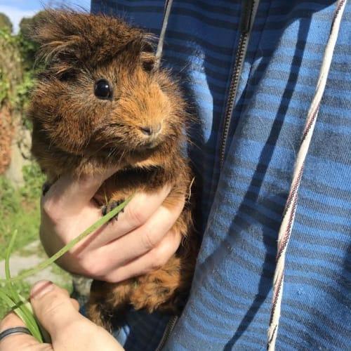 Summer - Guinea Pig