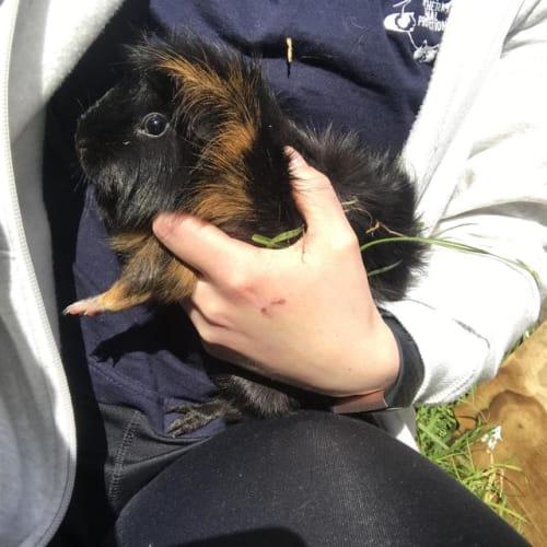 Winter - Guinea Pig