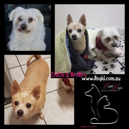 Chichi / Brobro - Chihuahua Dog