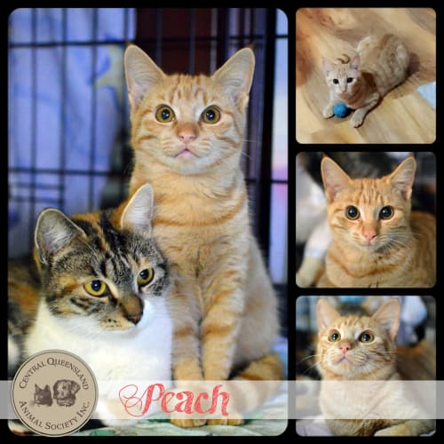 Peach - Domestic Short Hair Cat