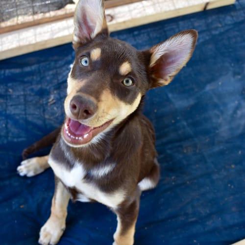 Timon - Kelpie Dog