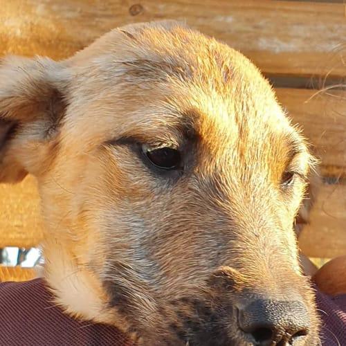 Pam - Wolfhound Dog