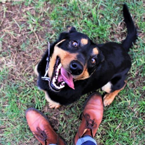 Douglas - Kelpie Dog