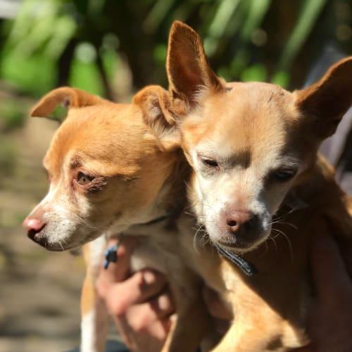 Jack & Leo  - Chihuahua Dog