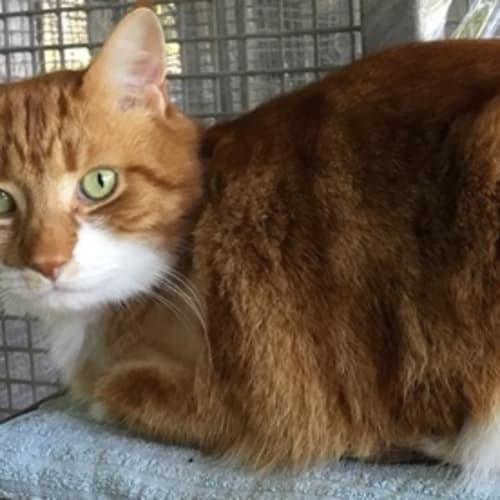 Gaspar - Domestic Medium Hair Cat
