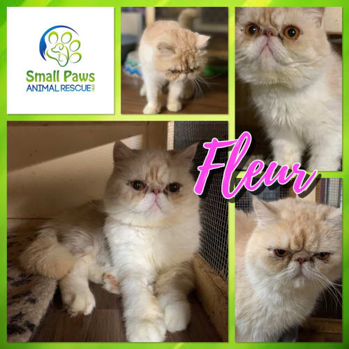 Fleur - Exotic Shorthair Cat
