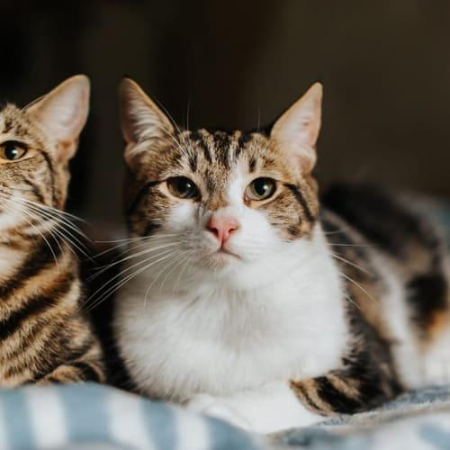 327/329 - Dazzle Cahfluff & Peitra Von Snaggle - Domestic Short Hair Cat