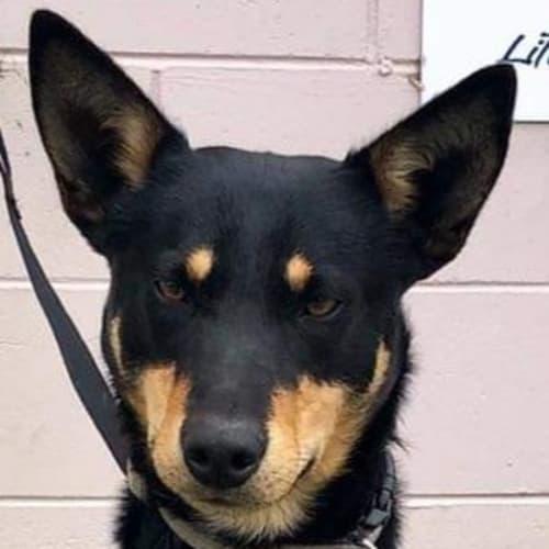 Dodger - Kelpie Dog