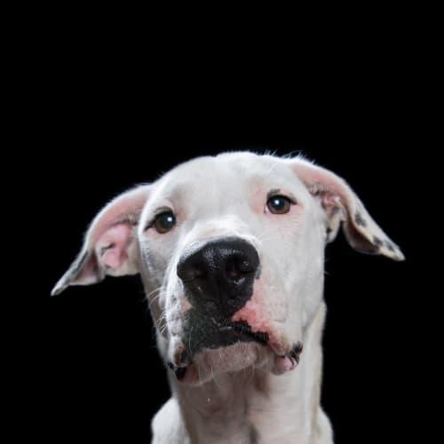 Jasper - Wolfhound Dog