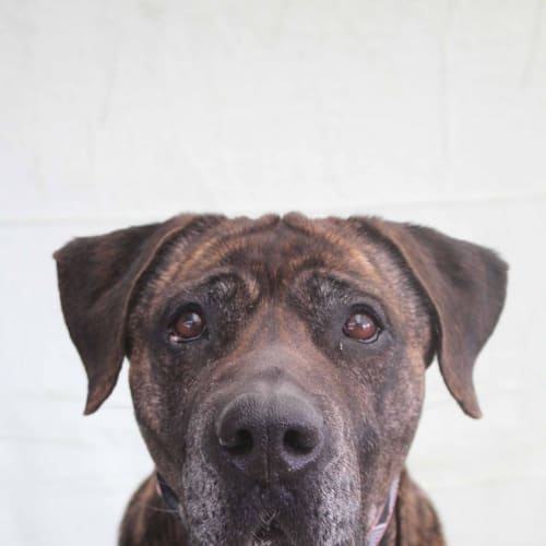 Meredith - Mastiff Dog