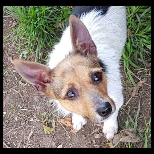 Wynnie - Jack Russell Terrier Dog