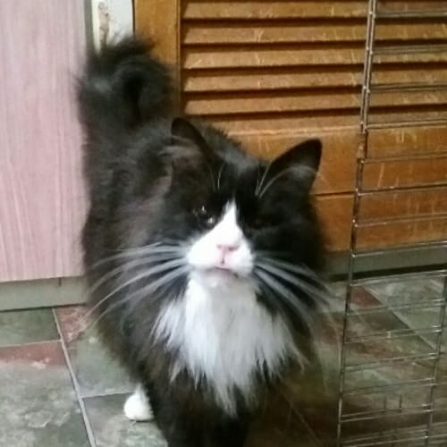 Quincy - Domestic Long Hair Cat