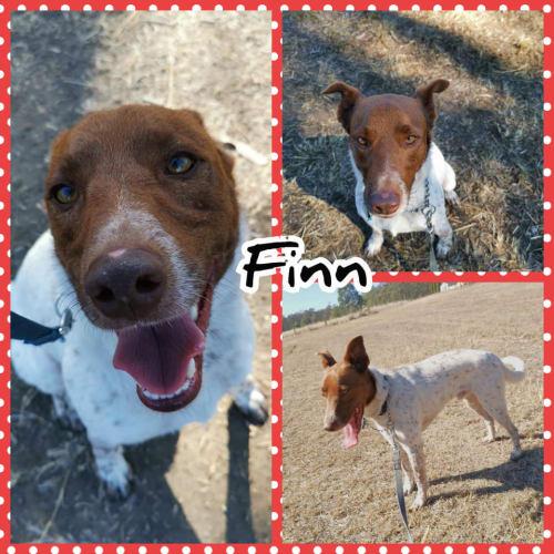 Finn - Kelpie x Australian Cattle Dog