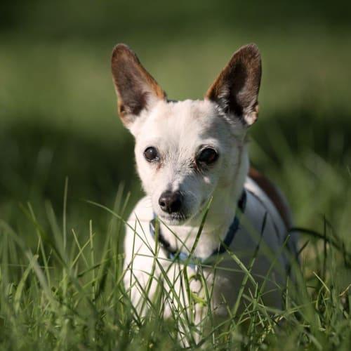 Robert Randolph (AKA Bobby) - Jack Russell Terrier Dog