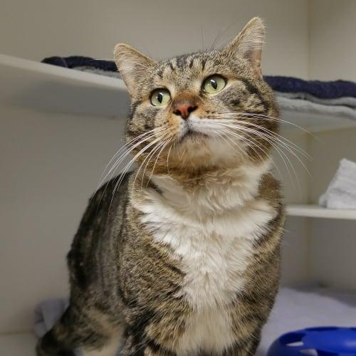 Westy SUA004260 - Domestic Short Hair Cat
