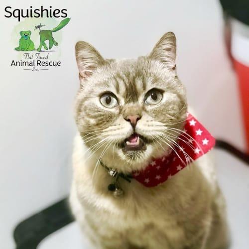 🐱🏍Charlie 🐱🏍 - British Shorthair Cat