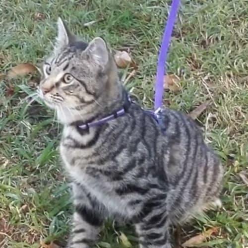 Monty - Domestic Short Hair Cat