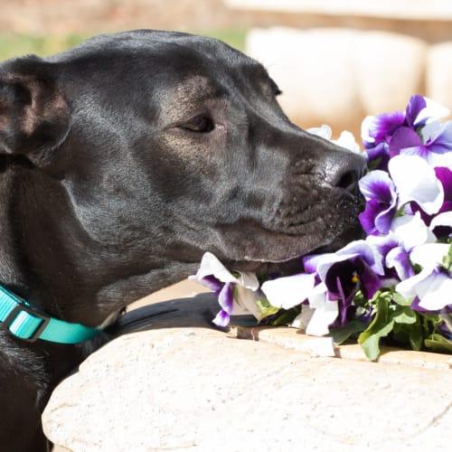 Bonnie  - Bull Arab x Bullmastiff Dog