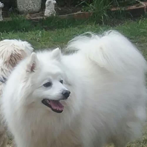 Archie - Spitz Dog