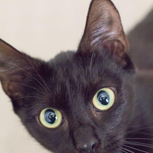 Dusky - Domestic Short Hair Cat