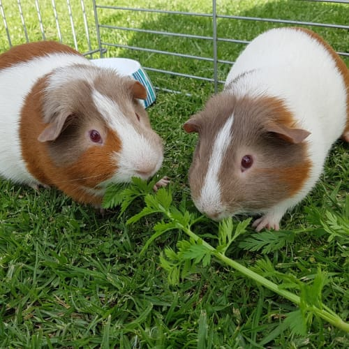 Specky and Griffin - Guinea Pig