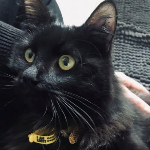 Patinkin - Domestic Medium Hair Cat