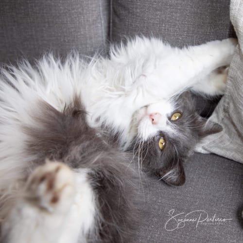 Honey - Domestic Long Hair Cat