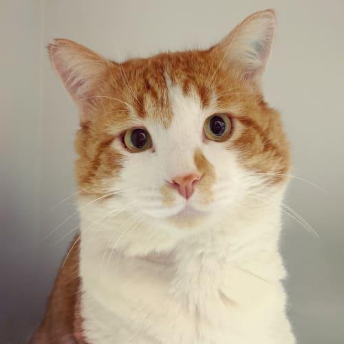 Big Ben - Domestic Short Hair Cat