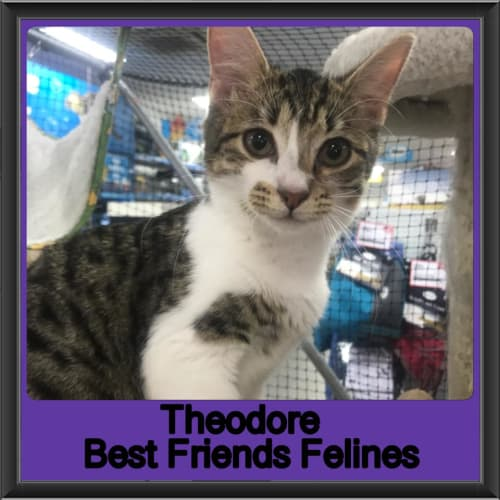 Theodore  - Domestic Short Hair Cat