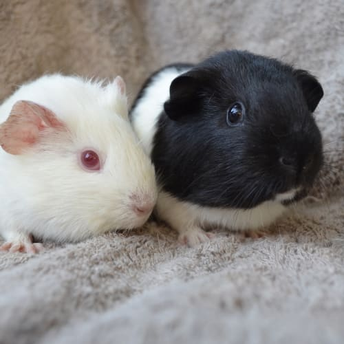 Kirsten and Peterina -  Guinea Pig