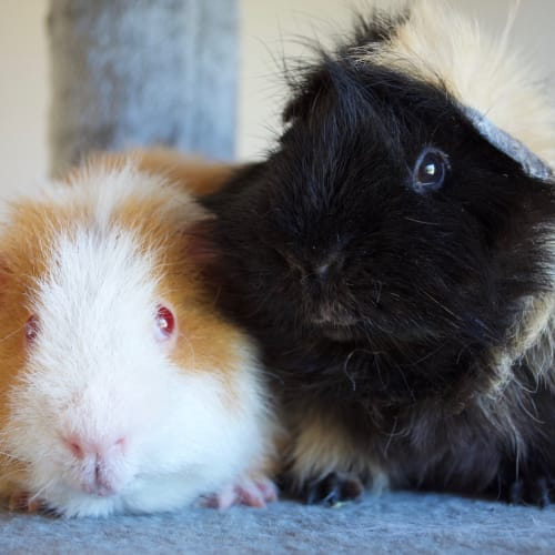 Cheddar and Shredder -  Guinea Pig