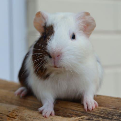 Pirate -  Guinea Pig