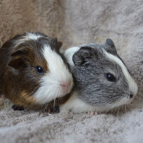 May and June -  Guinea Pig
