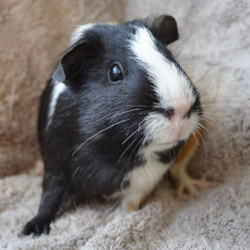 Mayva -  Guinea Pig