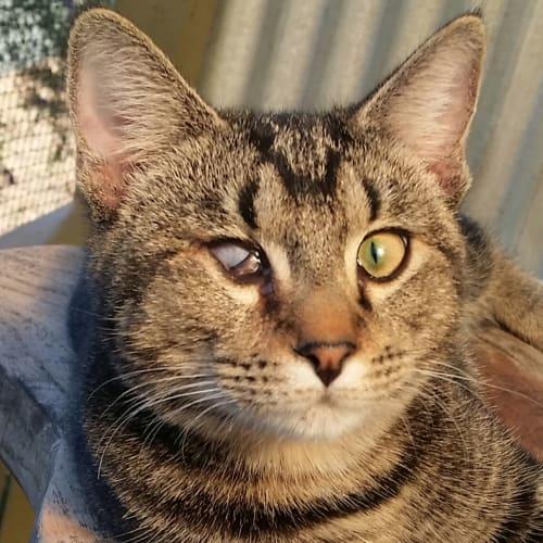 Bozberry - Domestic Short Hair Cat