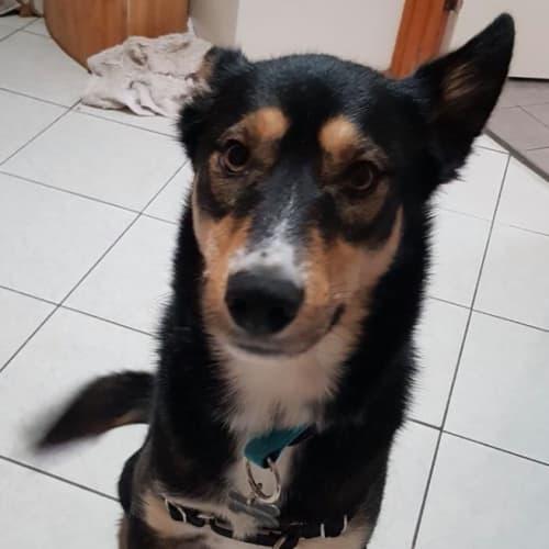 Pluto - Kelpie Dog