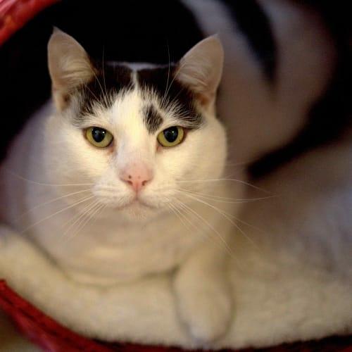 Gavin - Domestic Short Hair Cat