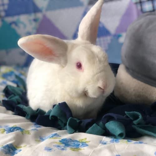 Minty  - Flemish Giant Rabbit