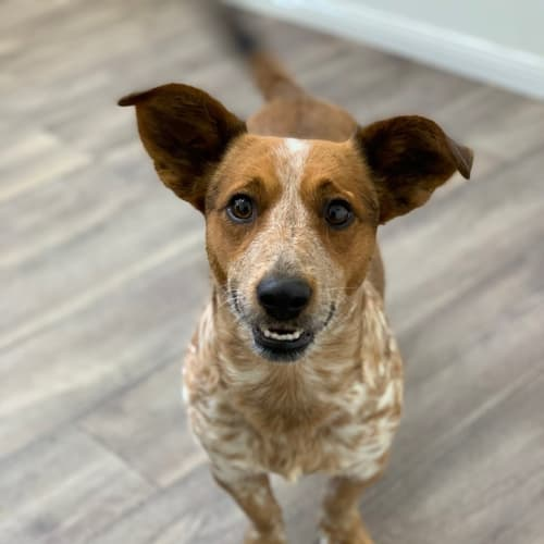 Napoleon - Australian Cattle Dog x Jack Russell Terrier Dog