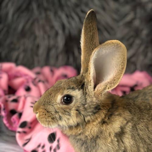 Lenny  - Flemish Giant Rabbit