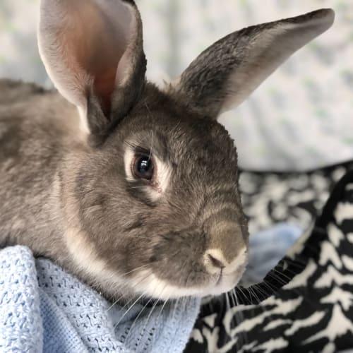 Ed - Flemish Giant Rabbit