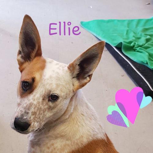 Ellie (2362019) - Australian Cattle Dog