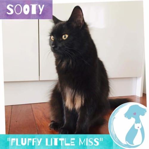 Sooty - Domestic Medium Hair Cat