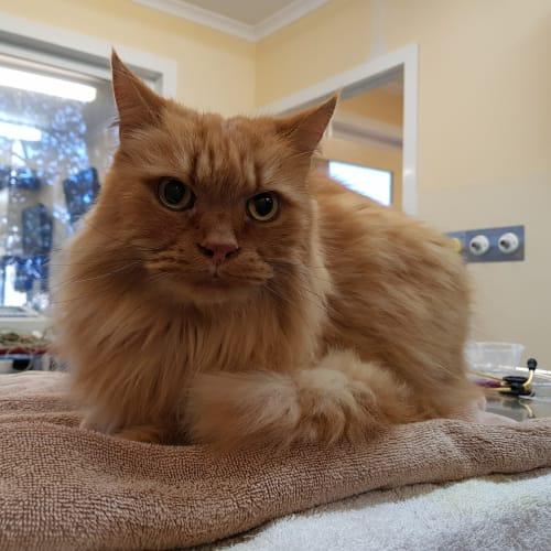 Simba - Domestic Long Hair Cat
