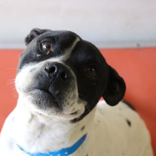 Boof - Impound Number 3740 - Staffy Dog