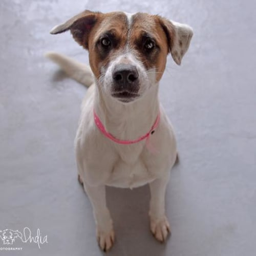 Sally - Impound Number 3726 - Staffy x Jack Russell Terrier Dog