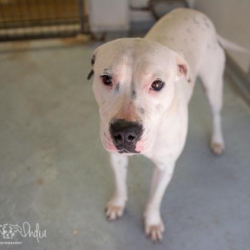Fiona - Impound Number 3837 - Amstaff x Dalmatian Dog