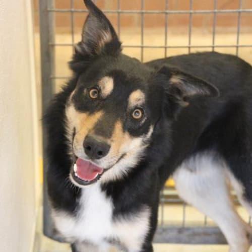 Coran - Impound Number 4181 - Kelpie Dog
