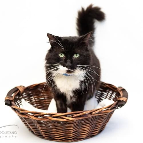 Chubba - Impound Number 3580 - Domestic Short Hair Cat